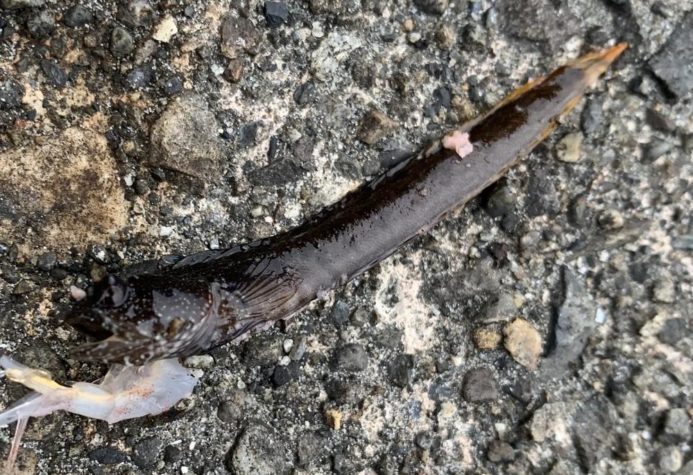 この魚は何という魚でしょうか? 6センチくらいでした。
