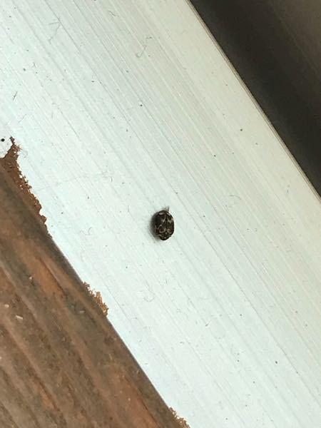 この虫はヒメマルカツオブシムシの成虫でしょうか。古い家に引っ越してきて1週間ですが、すでに窓際で2匹死骸を見ています。 幼虫は今のところ見ていませんが、家の中にいるつてことてすよね...。