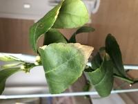 レモンの木の葉の先が横に丸まり、葉の先の方が茶色くなり、落ちてしまいます。  9月に購入した苗木です。 水はショップの方からのアドバイス通り、土が乾いてから与えています。 冬の寒さのせいで下の方の葉が落葉してしまったので、家の中で育てています。 肥料はレモン用のを5日前くらいにあげました。  …もしかしましたら、肥料が多いとこのようになってしまうのでしょうか?  結構前からあ...