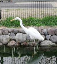 これは白鳥ですか?何て種類ですか。近所の小さな池で初めて見ました。珍しいことですか?