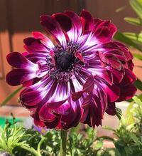 添付画像の花はアネモネだと思うのですが、これは八重咲きなのでしょうか。