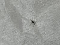 この虫はユスリカでしょうか?  最近、風呂場やキッチンでよく見ます。