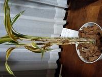 育てている観葉植物(ドラセナサンデリアーナ)が枯れてきています。恐らく根腐れかと思いますが、対処法を教えてください。 枯れた葉は切り離し、茎がスカスカになってしまったものは、もうだめだと思い切り落としてしまいました。 まだ生き残ってる子達だけでも助けたいです!