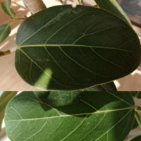 フィカスベンガレンシスの葉の色について教えてください。 3ヶ月ほど前に購入  新芽も出ていて、とてもきれいな状態でした。  ①葉の表面に白っぽいものがついています。 拭いても取れません。取り方があれば教えてください。または病気でしょうか?  ②新しい小さい葉の色が黄緑色です。大きな葉の下になっており、陽当たりが悪いのかと思い、今日は温かい(16~20度くらい)ので、外に出してみました。日を当...