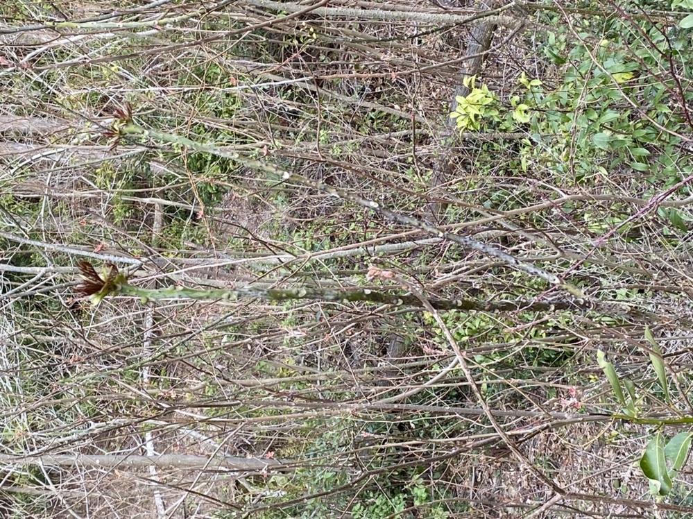 山菜採りに行ったのですがタラの芽の近くにこのような植物?山菜?がたくさん生えてました。 割とタラの芽に似た枝の形状をしておりトゲトゲしてました。 ご存知の方は何の山菜か、また食べられるか教えて頂きたいです。 よろしくお願いします。