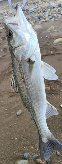 魚種について質問宜しくお願い致します 先程釣り上げたのですが 丸スズキでしょうか?平スズキでしょうか? ゴロタサーフで釣りました 宜しくお願い致します