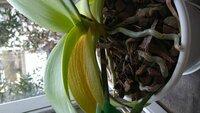 胡蝶蘭の葉っぱの色がおかしいのです。一昨年の夏に誕生日プレゼントでもらった胡蝶蘭。 花後に切り戻し、植え替えを経て、今年は寒い頃から花を沢山付け、無事開花しました。今日、切り花にと花茎を切りました。一鉢、下から(左右合計で)4枚目の葉っぱだけが黄色く変色しており、表面も凸凹しています。一番下の葉っぱであれば役目を終えたのだと静観するのですが、一番下の葉っぱは、まだまだ落ちそうにありません。病...