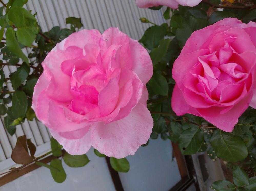 このバラの名前が分かれば教えてください。 前の家の持ち主が植えたバラで 相当古いです。 四国ですが、5月上旬に咲きました。 一期咲きのようです。 木立系らしく上に伸びきっていたのをかなり短く剪定...
