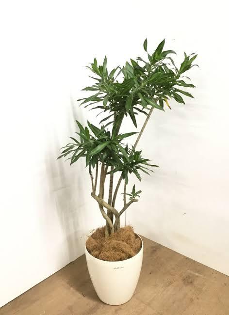 メルカリで観葉植物を売りたいのですが、梱包と発送方法がいまいち分かりません。 下の写真は拾い画ですが、こんな感じのもので、鉢の下から植物の上まで70cmくらいあります。 不明な点 土を全くつけ...