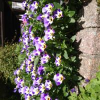 東海地方  ビオラが満開です。  しかし徒長してきているようで、風通しも悪いかなと 思うのですが。  梅雨明けごろにサフィニアに植え替える予定にしていますが  ビオラは今3月下旬に 切り戻しして もう1度咲いてく れるでしょうか?