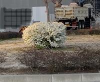この白い花の木の名前を 教えてください。  写真が遠くからで分かりにくくて 申し訳ありません。 本日(3月23日)東海地方の写真です。 よろしくお願いします。