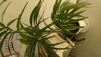 知り合いから 植物いただきました この植物名前わかる方いらっしゃいますか? また何ヵ所葉全体か赤茶色になって しまったのですが原因わかる方 いらっしゃいますか? ご存知の方いらっしゃいましたら 教えていただけないでしょうか? よろしくお願いいたします。