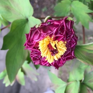 今年もボタンの花につぼみが付きました。ただいつもと違い花びらのちじれたとてもこの先開花しないようなつぼみがいくつかあります。 どのような影響でこのようになったのかボタンの花に詳しい方教えてください。