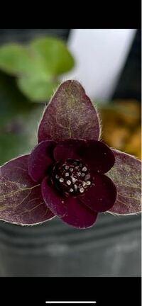 こぼれ種から黒に近い赤色の花の雪割草が咲きました。 珍しい色ですか?それとも良くある色ですか? 当方あまり詳しくないので、宜しくお願いいたします。