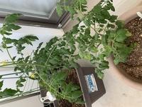 ミニトマトを種から植えました。 現在2株のみ育てていますが、手前の株の成長が奥より大分遅れており病気の様です。 これはモザイク病でしょうか? モザイク病なら処分が必要ですよね? ご回答宜しくお願い致します。