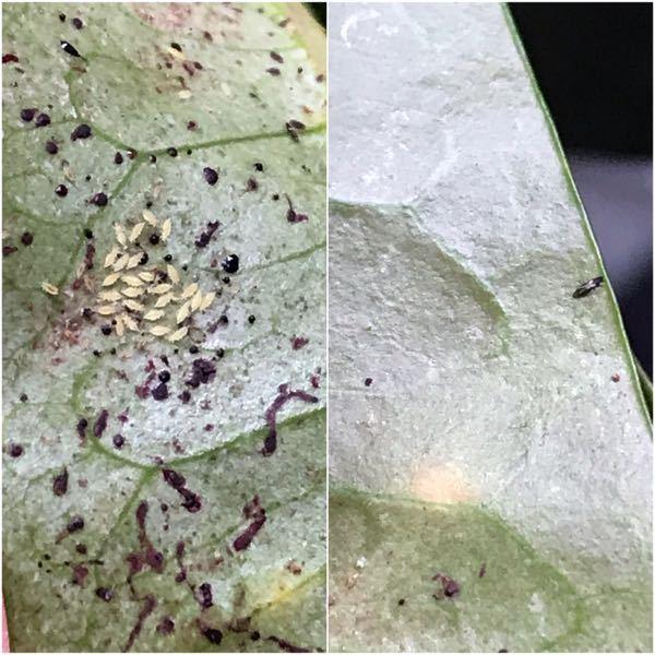 写真の観葉植物の害虫について質問です。 クロトンを、冬に室内で育てていたら、写真のような虫がたくさん付いていました。 幼虫(?)は左の写真のように白くて、成虫は右の写真のように黒くて細長い形を...