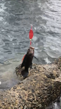 穴釣りしてたら釣れたのですが、 なんと言う魚かわかりますか??  画質荒くて申し訳ございません。。  特徴は、 背びれが赤いのと足みたいのが生えてるくらいですかね、、 ハゼに似てると思うんですが、背びれが赤いのが気になって…。
