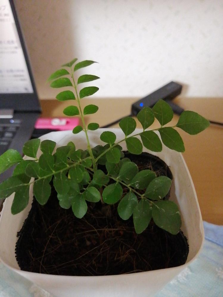 この植物の名前を教えて下さい。ダイソーの「大きい観葉植物」。