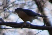 この鳥の名前が知りたいです。 前日洗足池公園に行った時に、大きいカメラを持っている方々が撮っていた鳥です。 私が持っていたカメラはレンズが合わなくてきちんと撮れてないですが、鳥だけを拡大した写真を添付します。 スズメやヒヨドリより大きいサイズでした。