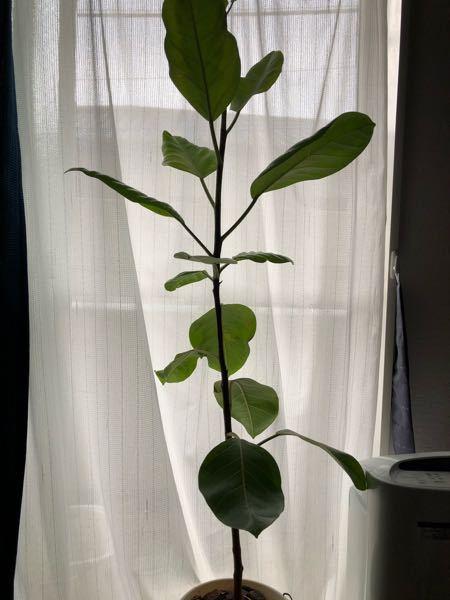ゴムの木 栄養不足でしょうか?幹が細いです 昨年の7月に購入してそのままなんですが 木が縦には伸びてはいるんですが葉っぱが少ないというか ひょろ長いです。 8号の鉢から10号の鉢に植え替える予...