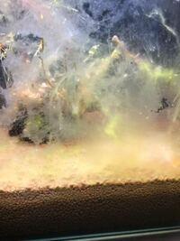 このような糸状?の苔を食べてくれる生体はいますか?