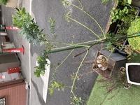 ミモザ鉢植え  2019年の5月にミモザの苗を購入しました。最初の年は枝が伸びて剪定してはいけないと思ったので全く剪定しませんでした。 次の春が来ても花が咲かなかったので秋ぐらいまでそのままにしていたのですが、何かの記事を見て伸びた枝を半分ぐらいに切りました。 切った後いくつか枝が増えて今も新芽が出ている状態なのですが、今年も咲く気配がありません。花芽は夏に出来るとのことなので今年の夏...