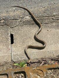 これは何ヘビですか?