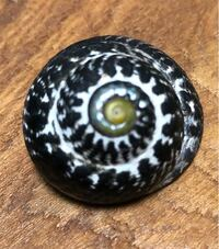 貝の種類について この貝殻を持つ貝の名前を教えて下さい。  太平洋側の浜辺で拾いました。  直径は5センチくらいです。  よろしくお願いいたします。
