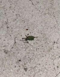 これなんという虫ですか?? 草むらが前にあり、ベランダに沢山います(涙