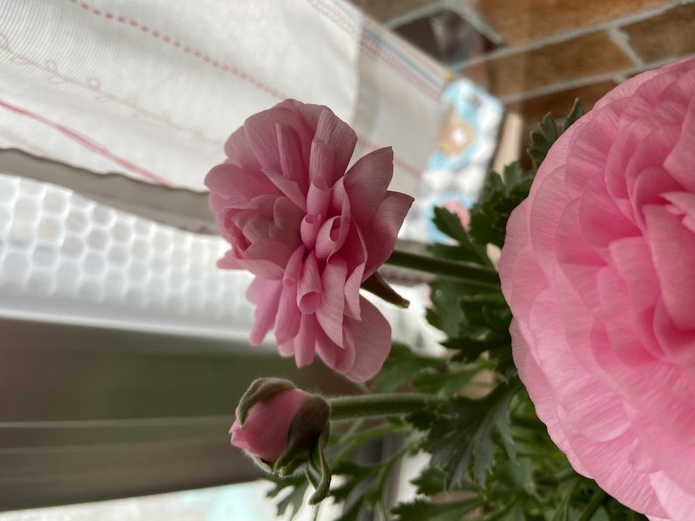 鉢植えのラナンキュラスの花びらが、反って巻いてしまいます。 買った時から咲いていた花はなんともないのですが、昨日蕾から開いてきた子の花びらがくるくるになってしまっています。 室内で育てているの...
