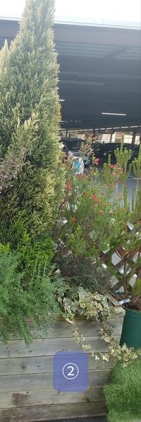 植物の名前②  特大コンテナ(深さ50cmほど)に、120~150cmくらいの植物を植えたいと思っています。 道路からの目隠しです。 先日ホームセンターで、理想の寄せ植え(?)を見かけました。添付写真です。 そちらは、コンテナの深さは60cmくらいありそうでした。 一番高い中央の木(ゴールドクレストでしょうか?)で、土から180cmくらいの高さでした。  同じように仕立てたく、写真の植物の名...