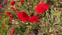 この赤いお花 何が分かる方、よろしくお願い致します。  画像見にくくてすみません…