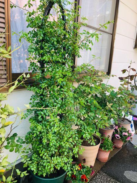 初歩的な質問なのですが よろしくお願いします。 昨年末にオベリスクに誘引した、ドロシーパーキンスという つるバラなのですが 春の暖かさで一気に新しい枝が伸びて垂れてきました。 この新しい枝は ど...