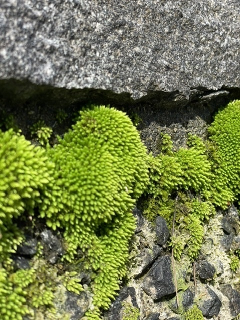 この苔の名前教えてください