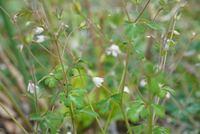 この花の名前が知りたいのですが、わかる方いませんか? 小さい白い花がたくさん咲いていて葉っぱはイタリアンパセリに似た形のような…教えてください!!