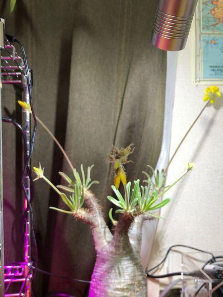 パキポディウム グラキリスの蕾が咲かずに枯れかけています。 原因は何だと思いますか? 根腐れでしょうか?