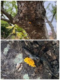 プラムの木に、虫のものだと思われる 黄色い卵がありました。 害虫のような気がするのですが… 何の卵でしょうか?  よろしくお願い致します。