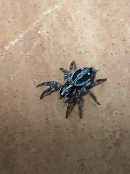 この蜘蛛ってチャスジハエトリですかね?