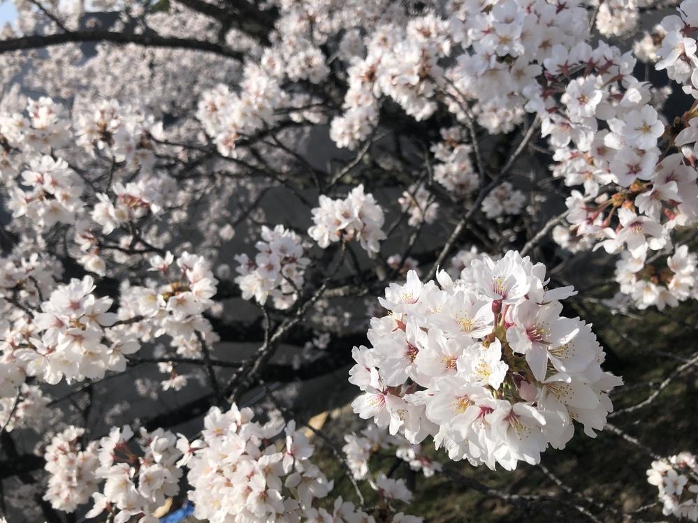 画像の桜はなんという種類でしょうか? ソメイヨシノのように白く、しかし鞠のように固まって咲いています。 桜に詳しい方、是非お教えください。 よろしくお願い致します。