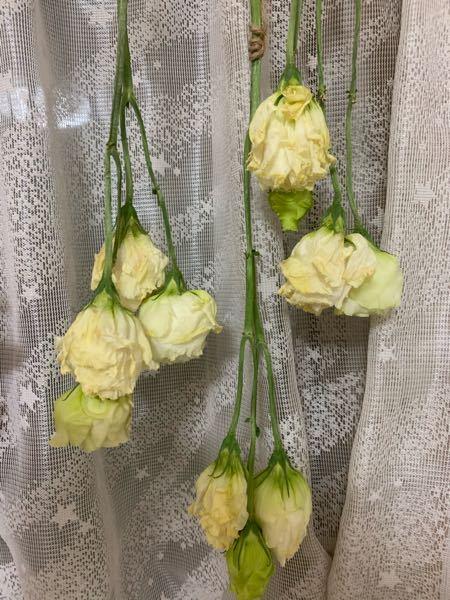 風通しの良いところに吊るして2週間が経とうとしています。 白いバラのドライフラワーはカサカサになるぐらい乾くのでしょうか? 枯れてきた?のか黄色くなったのは失敗しているのでしょうか?誰か教えてください