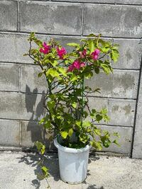 ブーゲンビリアについて質問なのですが。 写真のようになかなか赤い花が咲かないのですが 皆様はどうやって鉢植えのブーゲンビリアを 育てていますか? 水は乾燥したら与えるようにしています。 肥料なども必要なのでしょうか?