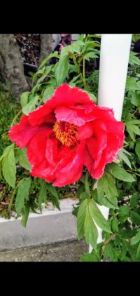 【植物・画像あり】この花は何という名前ですか? 葉に対して大きな花です。