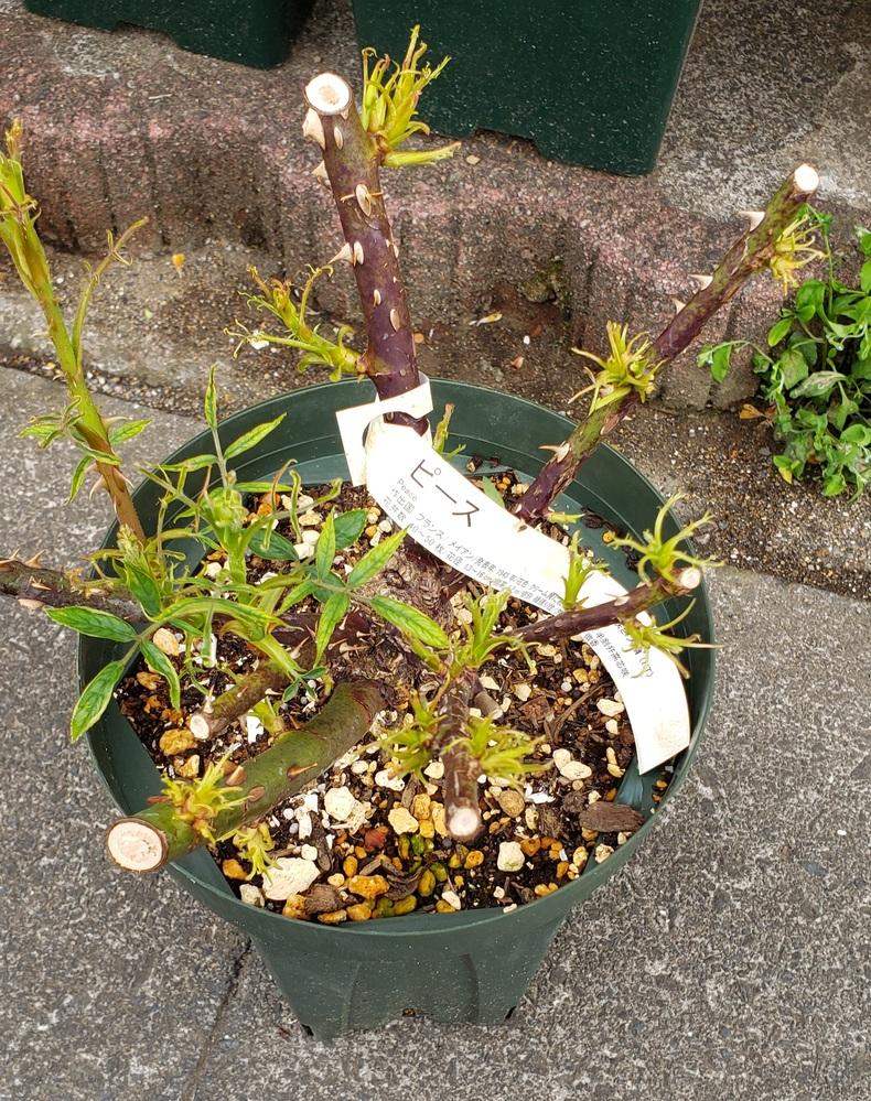 3月に購入したバラ(ピース)の葉がチリチリの状態で全く伸びないのです。 他のバラたちは元気に新芽を伸ばしているので、病気ではないかと心配になってしまいました。2年接ぎ木の大苗です。通販で購入した...