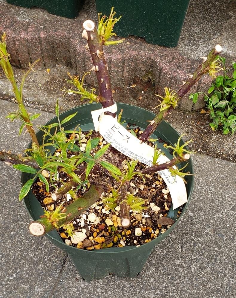 3月に購入したバラ(ピース)の葉がチリチリの状態で全く伸びないのです。 他のバラたちは元気に新芽を伸ばしているので、病気ではないかと心配になってしまいました。2年接ぎ木の大苗です。通販で購入したものですが、頻繁に植え替えするのもストレスを与えるかと一番花が終わるまで配達された鉢に植えたまま1度ニームを施しました。原因と対処方法がお分かりになる方がいらっしゃったらご教示いただけますでしょうか?...