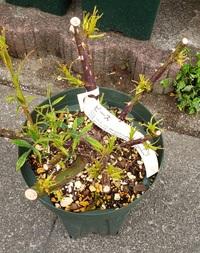 3月に購入したバラ(ピース)の葉がチリチリの状態で全く伸びないのです。 他のバラたちは元気に新芽を伸ばしているので、病気ではないかと心配になってしまいました。2年接ぎ木の大苗です。通販で購入したもので...