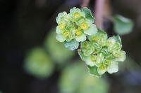 その② 那須で見かけた小さな花です。 ネコノメソウの仲間だと思いますが、名前の特定が難しくて困っています。 お分かりの方教えて下さい。 宜しくお願いします。
