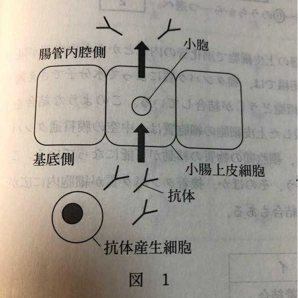 抗体が小腸上皮細胞の基底側から腸管内腔側に分泌されるときYの上の方から入っていくのはなぜですか?
