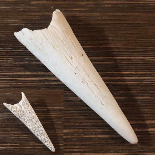 こちらは砂浜で拾ったものですが これが何かわかる方いますか? おそらく何かの歯かと思われます