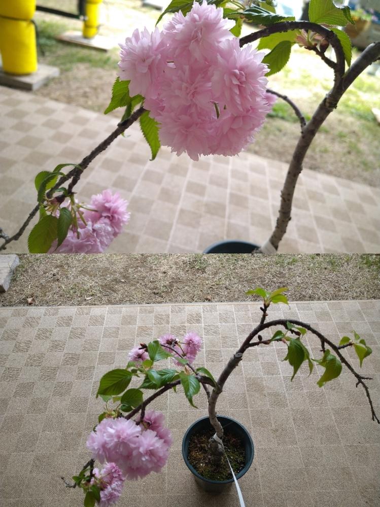"""この桜の種類を教えていただけませんか? 去年、ホームセンターで、""""仙台枝垂れ桜 (八重)"""" というような表記で 購入しました。 去年は葉がどんどん先に出て花は1輪しか咲かずで、今年も葉が先に出たものもありましたが何輪か咲いたので楽しむことができました。 しかし、母がの、「八重にしては花びらが多いね」という言葉で私も不思議に思いネットを見ていると 菊咲き という種類なの..."""