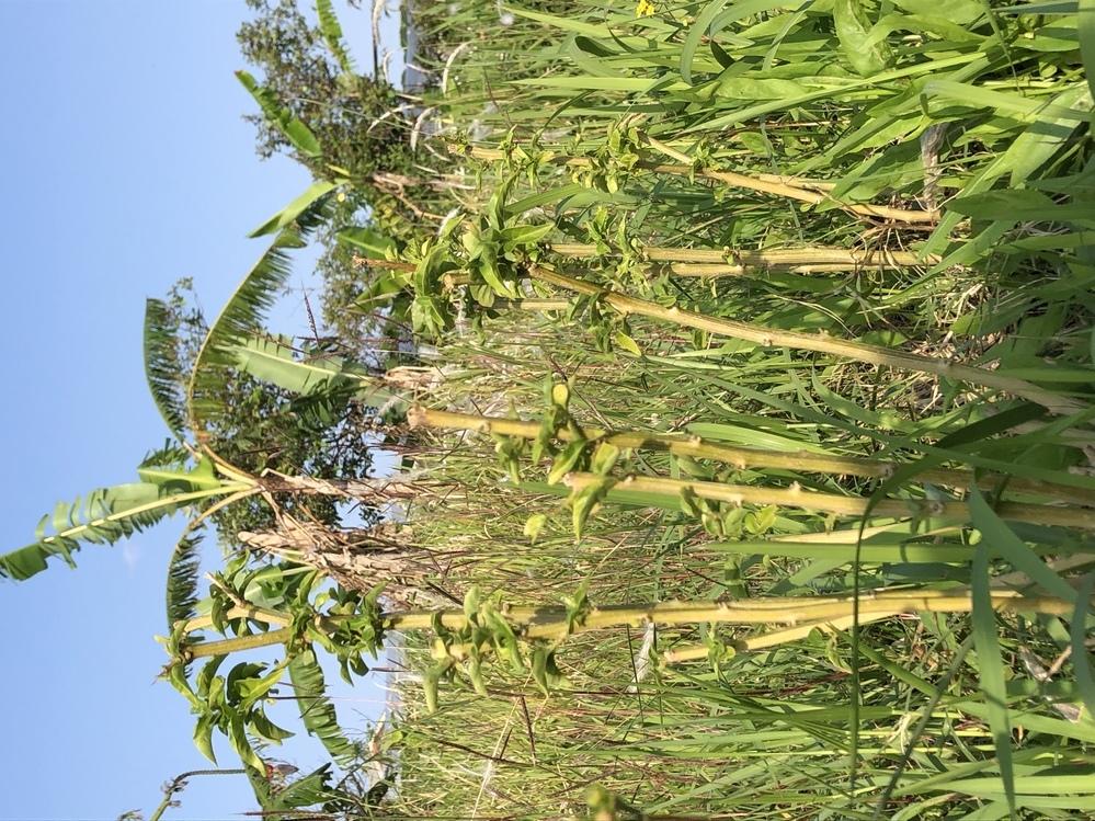 トウガラシの栽培について トウガラシを庭に植えていますが、枝先から枯れて行き、病気かと思い思い切って剪定しましたが、どうしてこのようになったか、また復活する事ができるか教えて下さい。 ちなみに私は沖縄県南部の方で土質はややアルカリで粘土質、水はけが悪いため、ミネを上げてます。水やりは初期段階のみで、肥料は月1程ほど与えています。 植えてからやがて一年程経ち、寒い時期に枝先が枯れていきました。